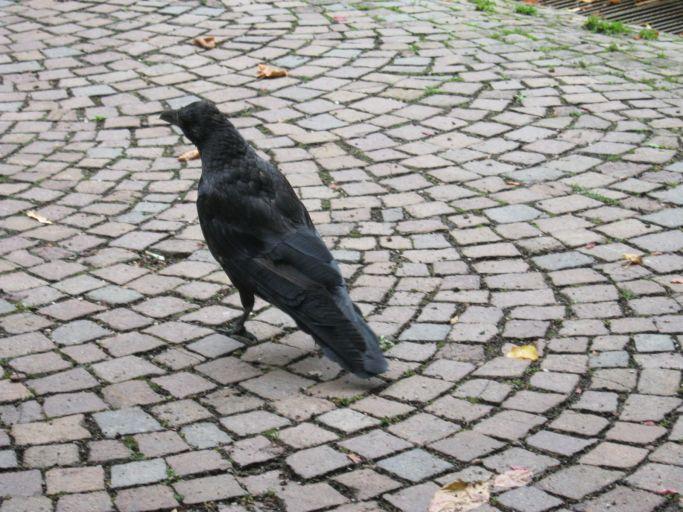 cobblestones-raven